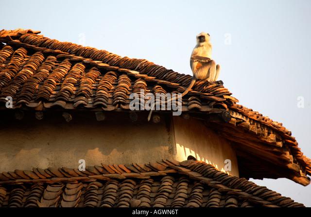 India Madhya Pradesh monkey grey langur hanuman langur on tiled village roof March 2007 - Stock Image