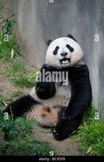 Giant Panda (Ailuropoda melanoleuca) San Diego Zoo - Stock Image