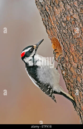 Hairy Woodpecker, female at hole of pine tree, ( Picoides villosus ), - Stock Image