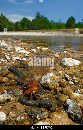 dice snake (Natrix tessellata), crab creeping on a water snake, Turkey, Lycia, Dalyan, Mugla - Stock Image