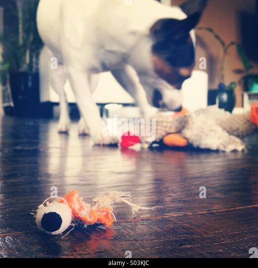 Eight-month-old Jack Russell Terrier puppy playing and destroying her stuffy toy chicken. No mercy. - Stock Image
