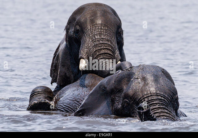 An African elephant rides on the back of another while crossing the Chobe River, Chobe National Park, Botswana - Stock Image