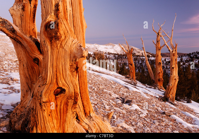 Bristlecone pines and White Mountains just prior to sunrise, Inyo National Forest, White Mountains, California, - Stock-Bilder