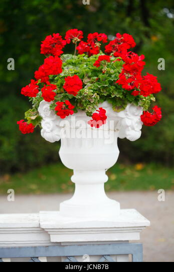 Old Vase with red Geranium Flowers in Park Kadriorg , Tallinn , Estonia, Baltic States, Europe - Stock-Bilder