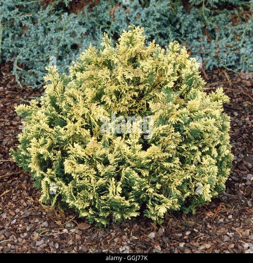 Chamaecyparis lawsoniana - `Pygmaea Argentea'   CON039884 - Stock Image