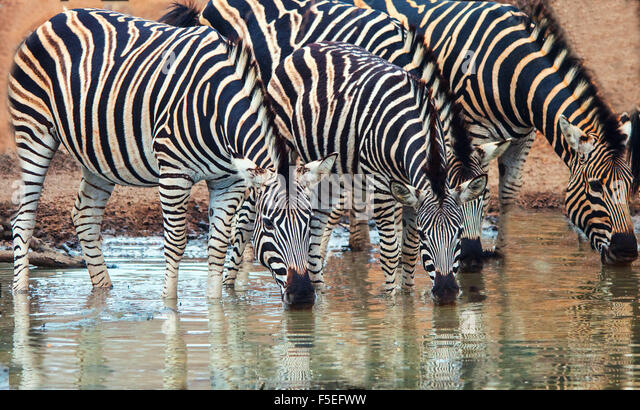 Row of Burchell's Zebra drinking at a watering hole, South Africa - Stock Image