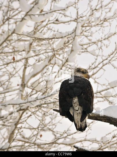 Portrait of an eagle of a dead tree sitting on a branch. Haliaeetus leucocephalus washingtoniensis. - Stock-Bilder
