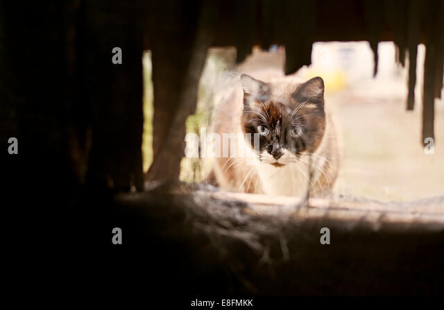 Spain, Siamese cat looking through hole - Stock Image