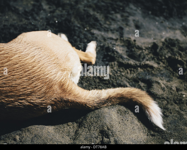 Mixed breed dog on beach, Discovery Park, Seattle - Stock Image