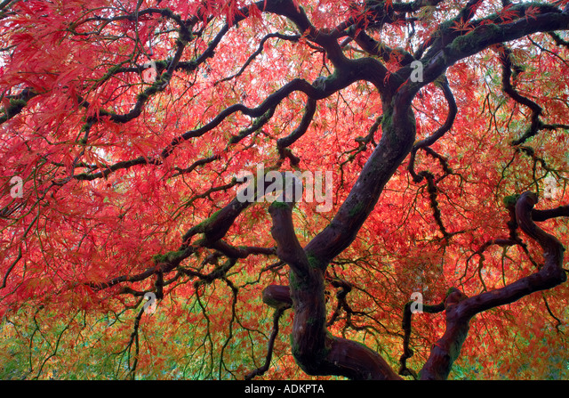 Japanese Maple tree in fall color Portland Japanese Gardens Oregon - Stock Image