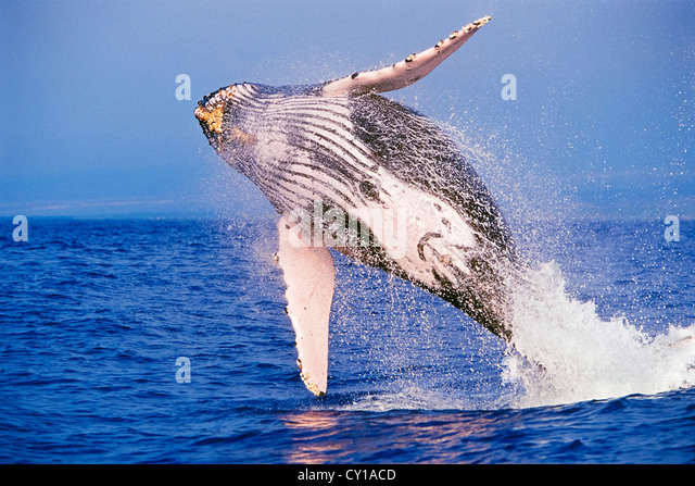 Breaching Humpback Whale, Megaptera novaeangliae, Hawaii, USA - Stock-Bilder