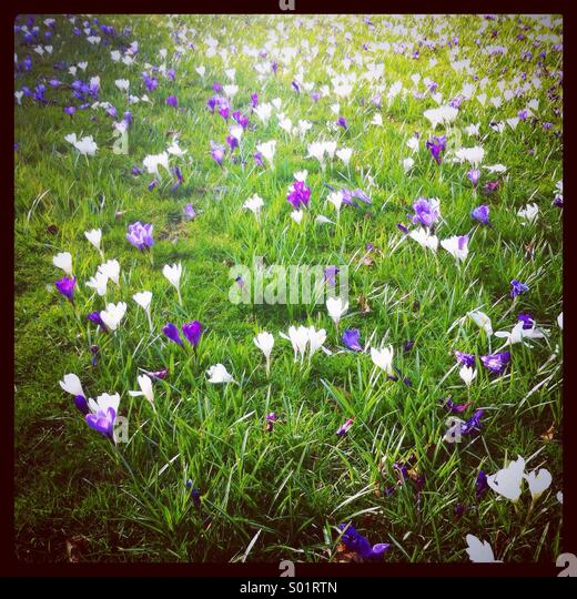 Purple and white crocuses growing in a grassy meadow in Essex, UK - Stock Image