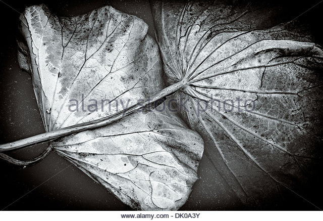 Two partly submerged Lotus leaves give the impression of intimate human movement, in frozen pond in Chungju, South - Stock Image