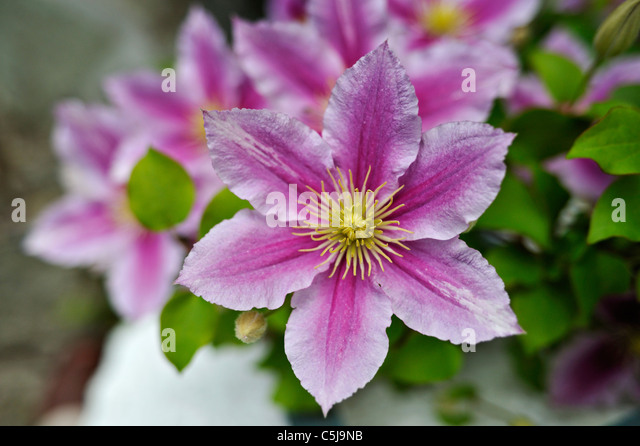 clematis dr ruppel stock photos clematis dr ruppel stock images alamy. Black Bedroom Furniture Sets. Home Design Ideas