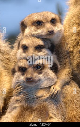 Meerkat (Suricata suricatta) - Stock Image