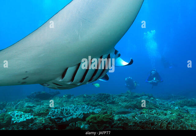Manta Ray (Manta Birostris) Swimming over the Reef, with Divers in the Background. Nusa Penida, Bali, Indonesia - Stock Image
