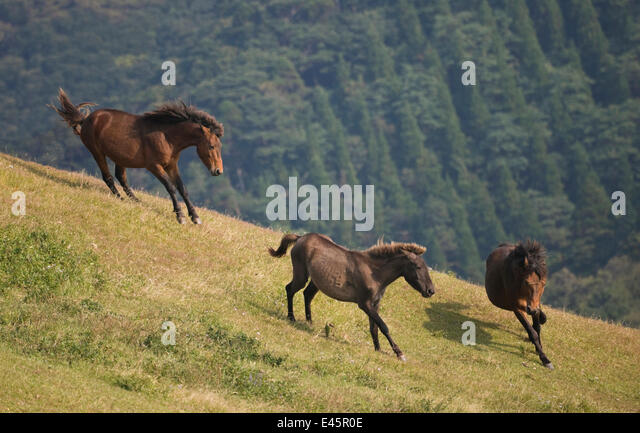 A wild Misaki-uma breeding stallion (right) brings back one of his mares to his band while another breeding stallion - Stock-Bilder