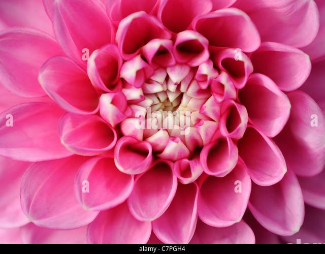 A close-up of a bright pink pom pom dahlia - Stock Image