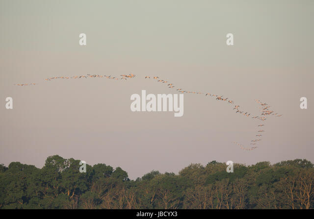 Large flock of Great white pelican (Pelecanus onocrotalus) in the distance in the Danube River Delta in Romania - Stock Image