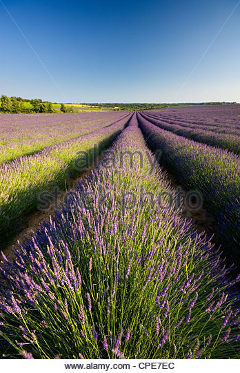 Lavender Fields, Provence, France, Europe - Stock Image