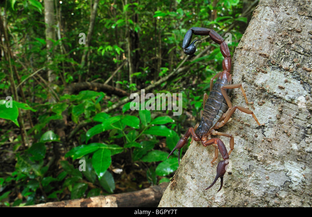 Scorpion (Grosphus ankarana), Ankarana National Park, Northern Madagascar - Stock-Bilder