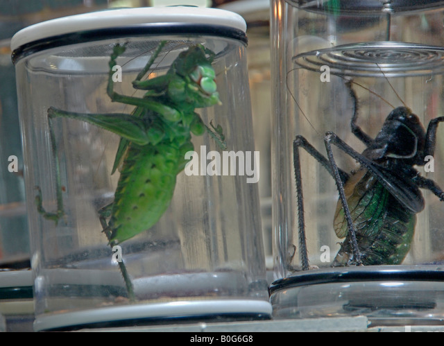 Captive Chinese katydids in Shanghai shop kept for song - Stock Image