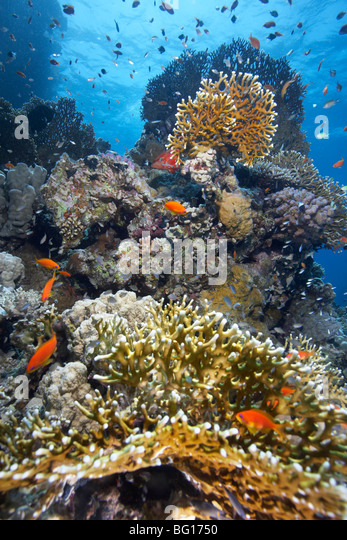 Shoal of fish on reef - Stock Image