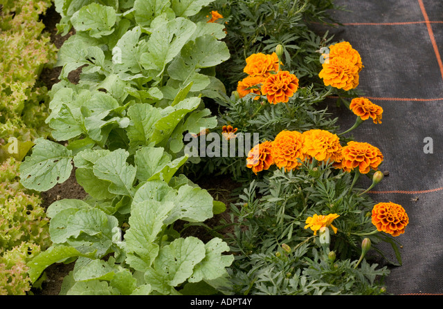 Companion planting with french marigolds next to turnip seedlings and Lollo rossa lettuce Organic gardening - Stock Image