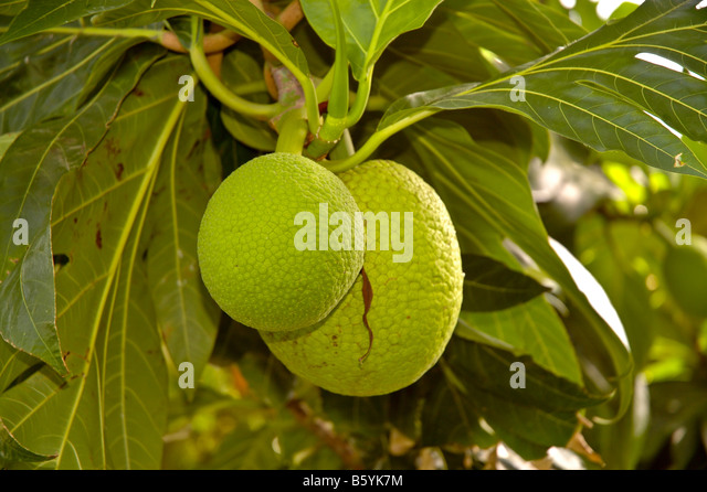 Breadfruit tree green melons hanging from tree used for salve food in the Caribbean - Stock Image