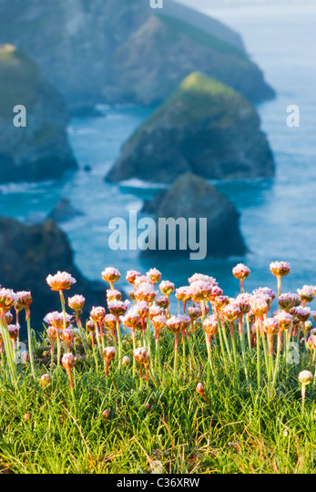 Thrift at Bedruthan Steps, Cornwall, UK - Stock-Bilder