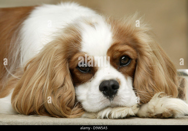 A brown and white King Charles spaniel lying down on a concrete step next to its silver food bowl. - Stock Image