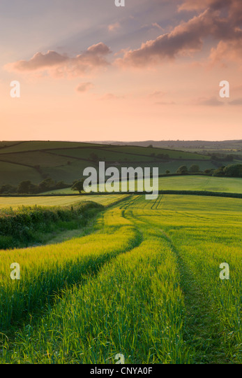 Summer crops growing in a field near Lanreath, Cornwall, England. Summer (June) 2010. - Stock Image