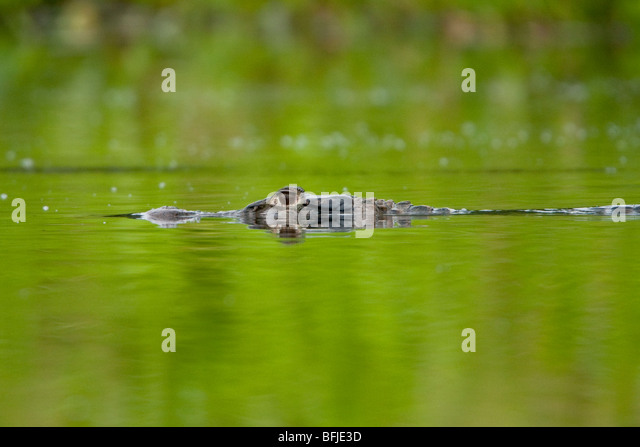 A Black Caiman prowles a jungle stream in Amazonian Ecuador. - Stock-Bilder