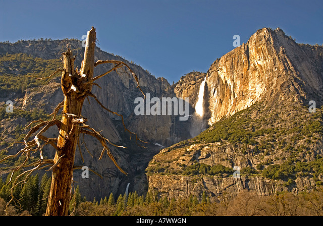 Yosemite Falls old twisted tree upper and lower falls - Stock Image
