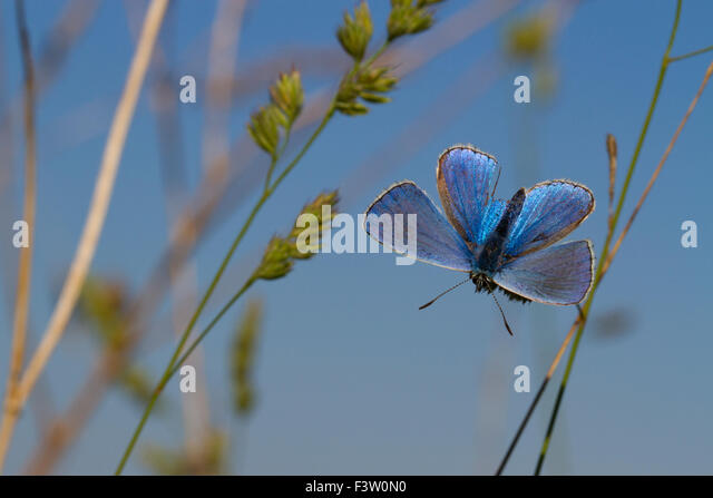 Adonis Blue butterfly (Lysandra bellargus) adult male basking in early morning sunshine. France. - Stock Image