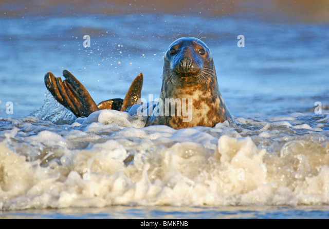 Surfing Seal at Donna Nook, Lincolnshire coast, UK. - Stock Image