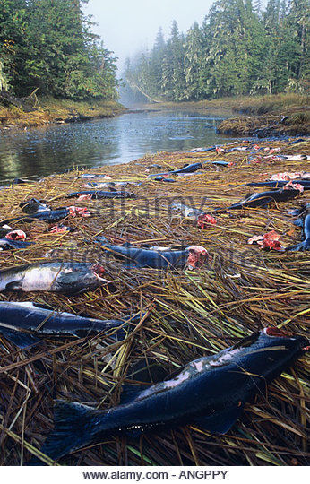 Remains of Pink salmon left behind by grey wolves, BC central coast, Great Bear Rainforest, British Columbia, Canada. - Stock Image