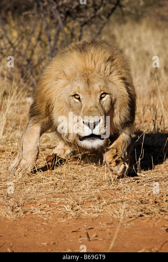 Lion Panthera leo charging towards camera Namibia Dist Sub saharan Africa - Stock Image