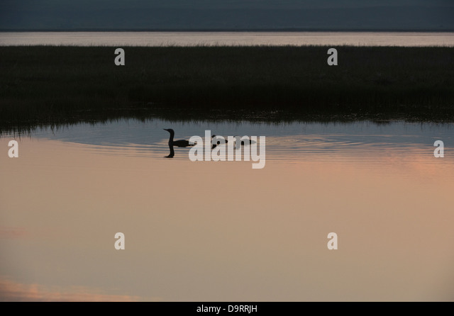 Red-throated Diver (Gavia stellata) adult with two juveniles at midnight wetland Southen Iceland Europe - Stock Image
