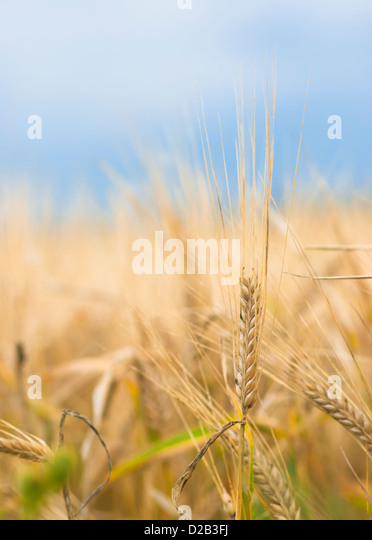 Colorful closeup of ripe barley ear on overcast autumn day. - Stock Image