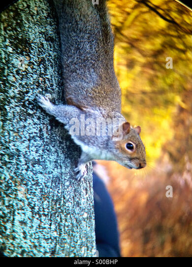 Squirrel in Regent's Park, London - Stock Image