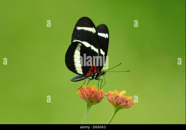 Hewitson's Longwing (Heliconius hewitsoni) feeding in Costa Rica rainforest - Stock Image