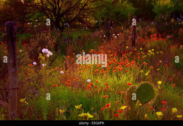 USA, Texas, Dimmit County, Wild flowers in full bloom - Stock Image