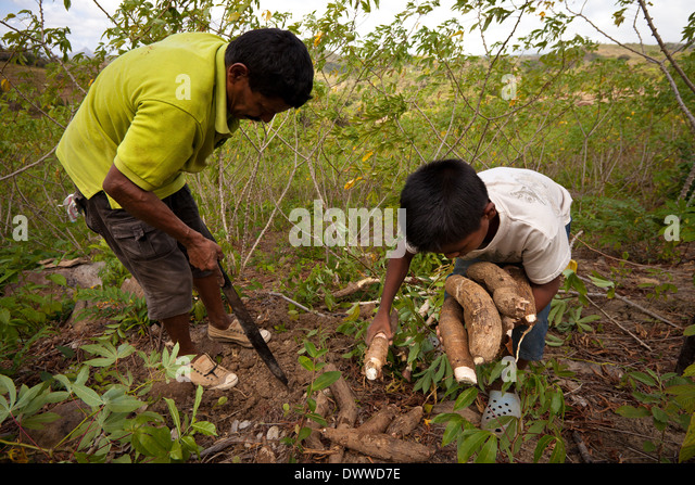 Father and son harvests Yuca roots in Las Minas de Tulu in Cocle province, Republic of Panama. - Stock-Bilder