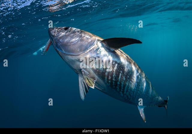 Blue fin tuna fishing stock photos blue fin tuna fishing for Blue fin fish