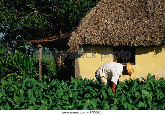 CUBA in Sancti Spiritus province farmer working in his tobacco field next to his thatched roof house - Stock Image