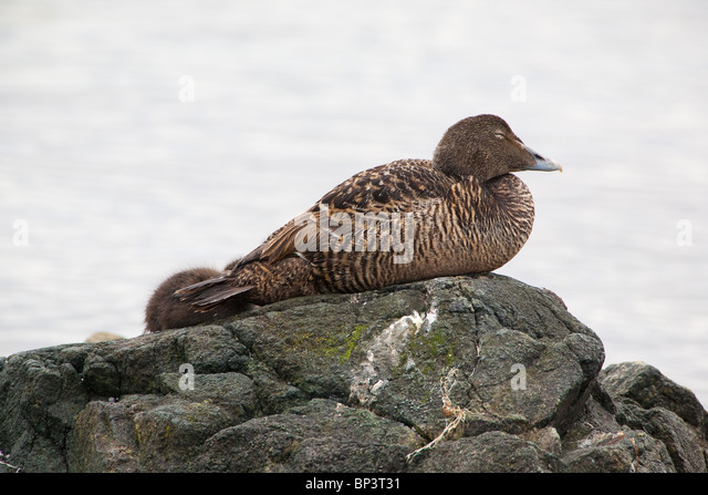 Sleeping Common eider at the shoreline of the island Runde on the west coast of Norway - Stock Image