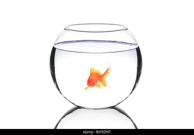 Golden fish in a bowl isolated on white background - Stock Image