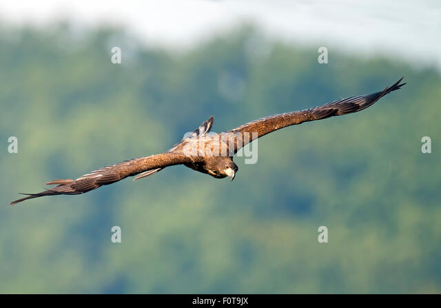 Juvenile American Bald Eagle in Flight - Stock-Bilder