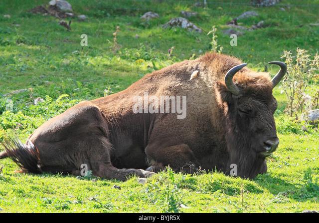 European Bison (Bison bonasus) resting at Highland Wildlife Park, Scotland. - Stock-Bilder